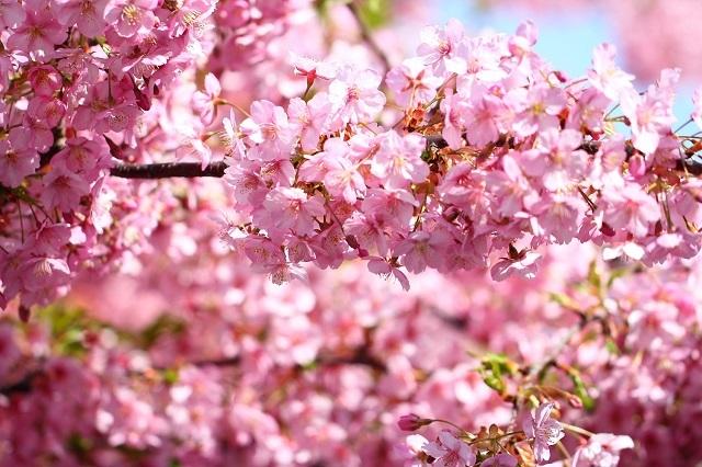 神奈川県の三浦海岸の河津桜綺麗やわ?