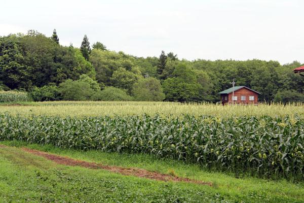 長野県北部信濃町柏原地区のとうもろこし畑